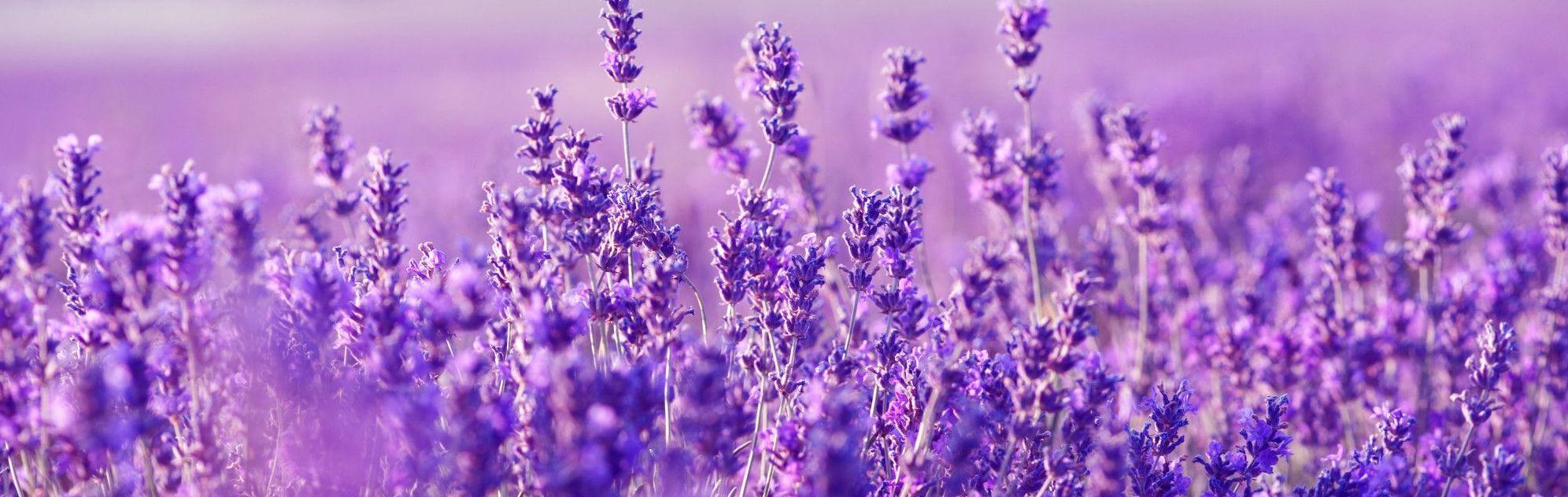 lavendel essentiële olie